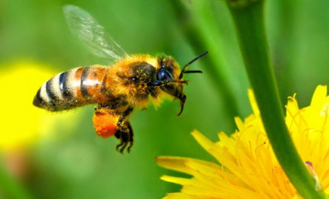 Bee hovering over yellow flower to collect nectar.